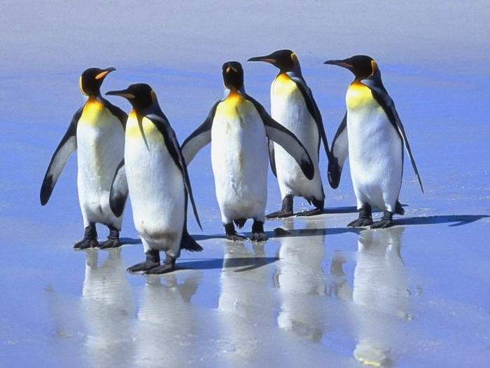 Pinguins - Linux (imagem: WallpaperMania)